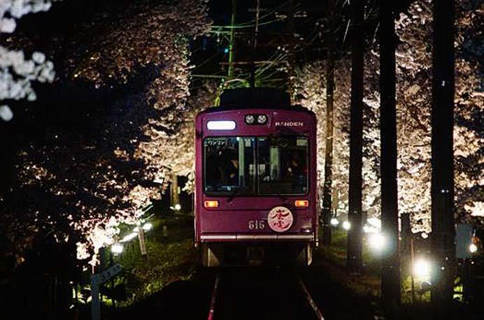嵐電,桜のトンネルライトアップ実施・夜桜電車を運転