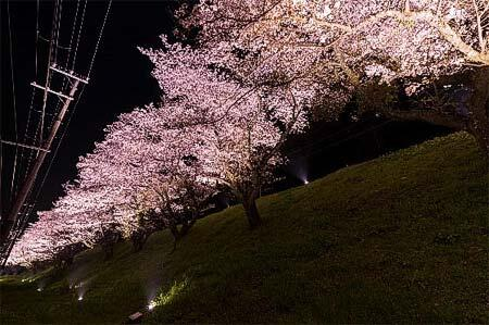 南海,高野線 学文路—九度山間の桜並木をライトアップ