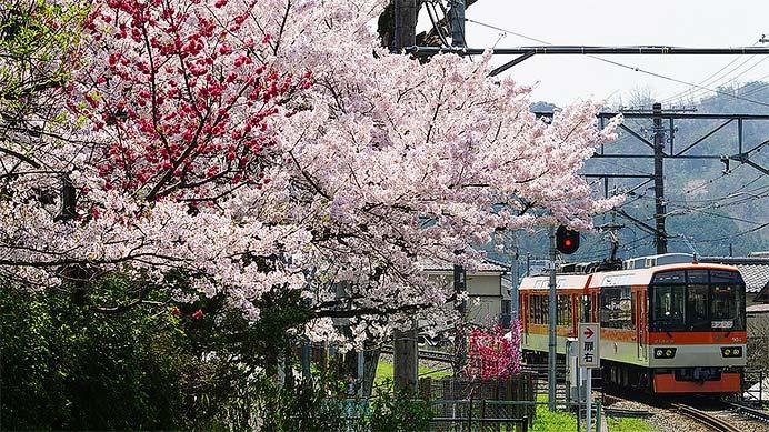 叡山電鉄 桜めぐり旅