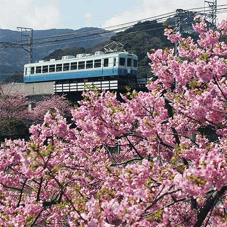 伊豆急行で特別列車「快速100系河津桜号」運転