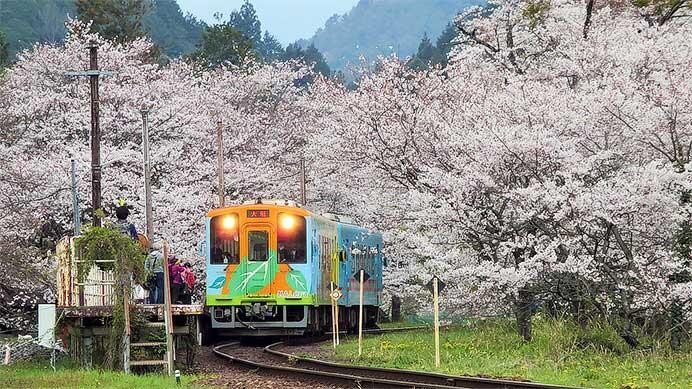樽見鉄道で「桜ダイヤ」実施