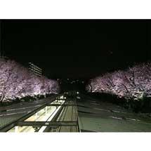 3月17日〜4月15日相鉄,弥生台駅の桜をライトアップ