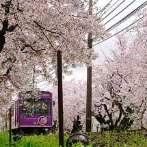 REPORT「嵐電」と桜めぐり旅